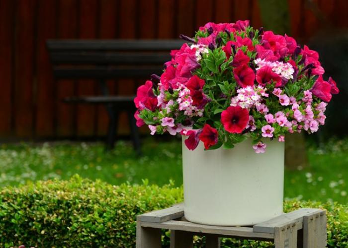Blumen vermeiden Petunien im Topf ungeeignet für Valentinstag Farbenpracht sich nicht irreführen lassen
