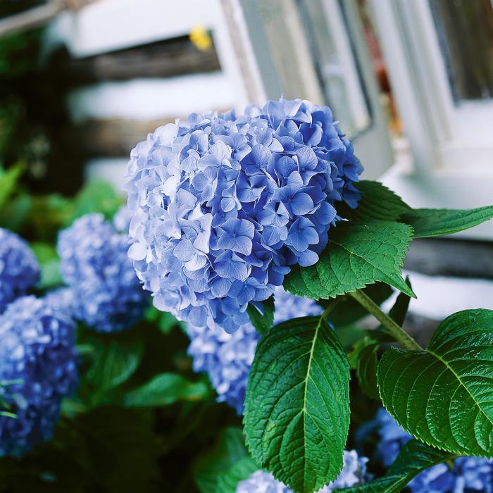 Blumen vermeiden blaue Hortensien wunderschön jedoch ungeeignet für den Valentinstag