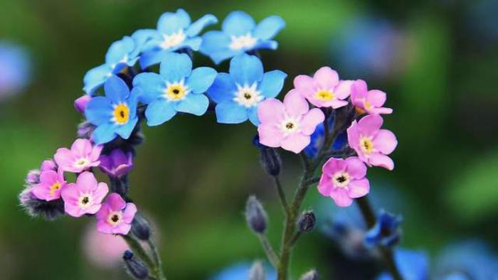 Blumen vermeiden das Vergissmeinnicht Liebestrennung andeuten rosa und blaue kleine Blüten