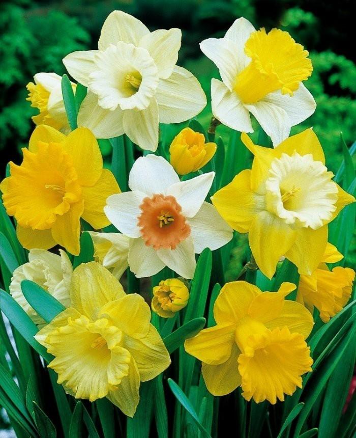 Blumen vermeiden gelbe Narzissen schön aber für eine Liebesbotschaft am Valentinstag ungeeignet