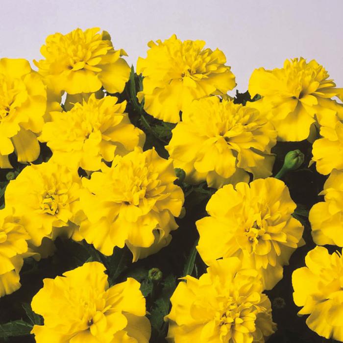 Blumen vermeiden gelbe Nelken ungeeignet für Valentinstag schlimme Botschaft vermitteln