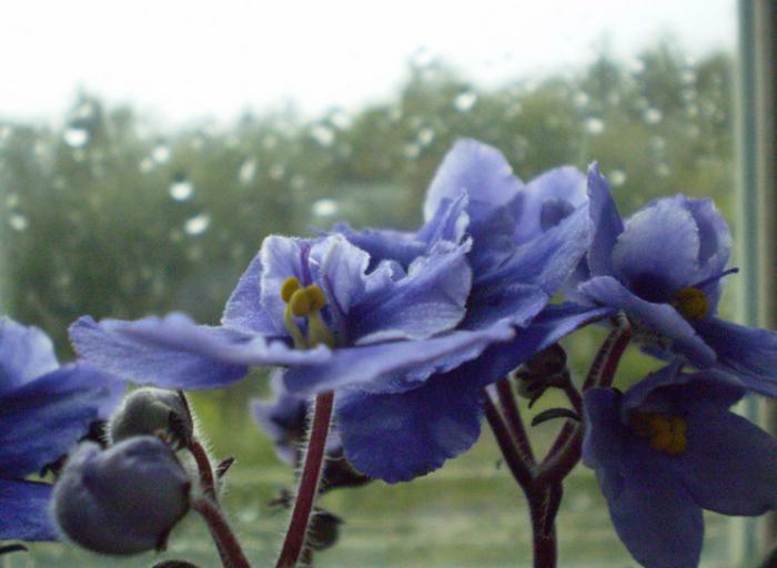 Blumen vermeiden schöne blaue Blumen schmücken die Fensterbank als Geschenk zum Valentinstag ungeeignet