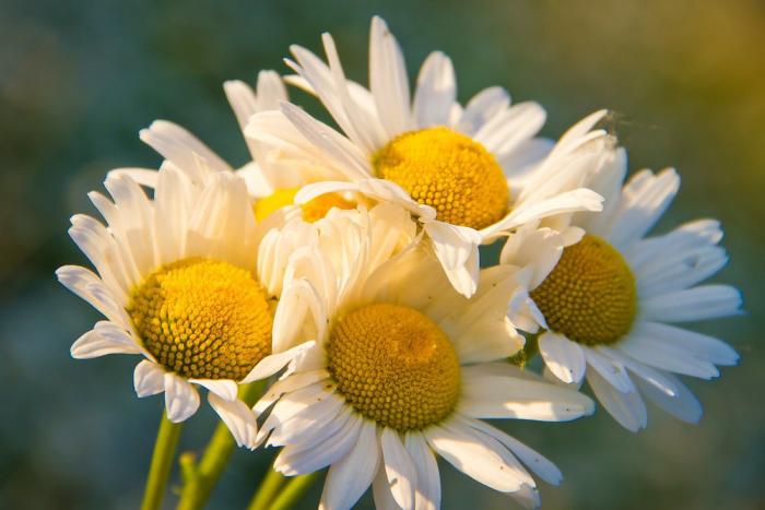 Blumen vermeiden weiße Margeriten am Valentinstag schenken keine gute Idee