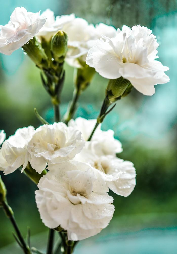 Blumen vermeiden weiße Nelken sind schön jedoch ungeeignet zum Valentinstag
