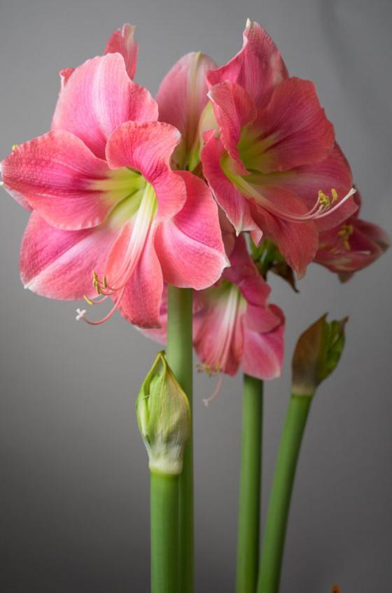 Blumen zum Valentinstag Amaryllen heimliche Lieblingsblumen der Frauen