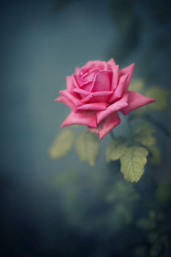 Blumen zum Valentinstag ideen rosafarbene Rose unwiderstehliche Liebesbotschaft