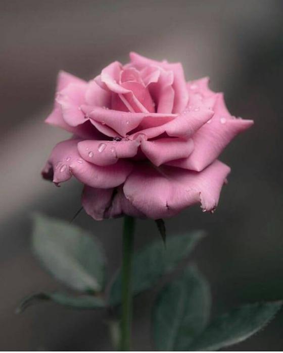 Blumen zum Valentinstag rosafarbene Rose unwiderstehliche Liebesbotschaft