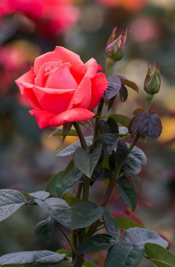 Blumen zum Valentinstag schöne Rose unumstrittene Königin der Blumen