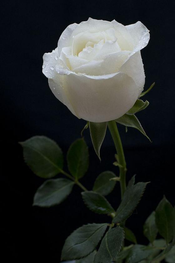 Blumen zum Valentinstag weiße Rose symbolisiert Unschuld und Reinheit