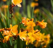 Freesien – natürliche Schönheit und betörender Duft in einem