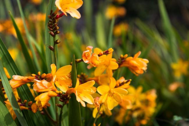 Freesien in gesättigten Gelb im Garten ein Highlight draußen