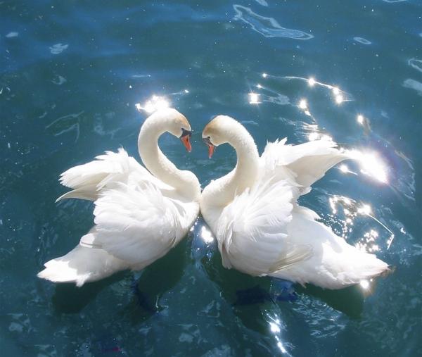 Liebessymbole - Bild mit Schwäne im Wasser
