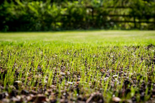 Rasen düngen - frische Pflanzen aus dem Boden