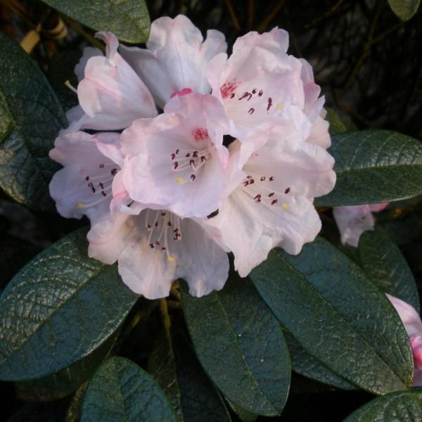 Rosa Blumeb - Ideen - rhodendron schneiden