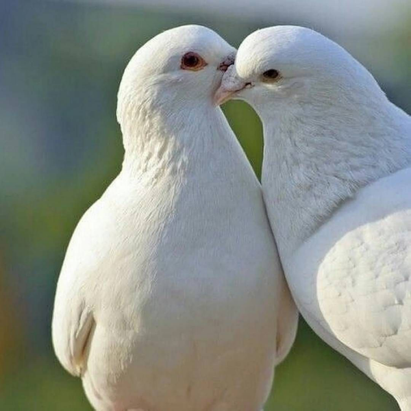 Verliebte Täubchen - Liebessymbole