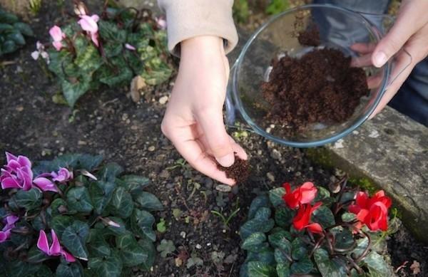 blühende pflanzen düngen kaffeesatz als dünger