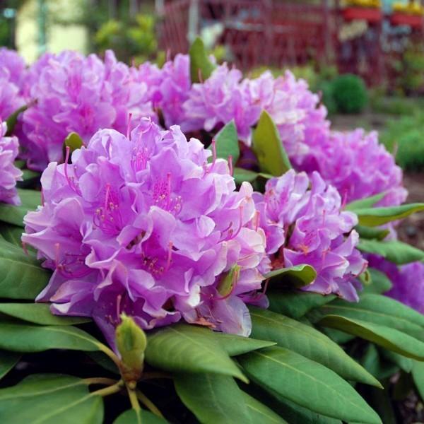 grosse Pflanzen mit Lila Blueten rhodendron schneiden