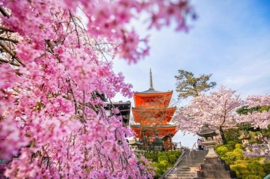 kirschblütenzeit hanami japan