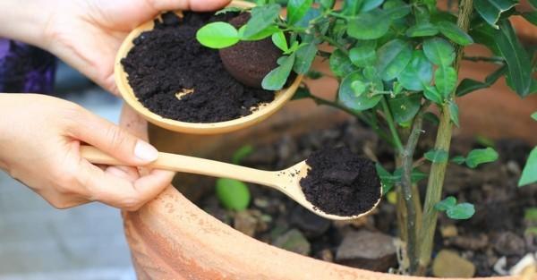 rosen pflegen kaffeesatz als dünger