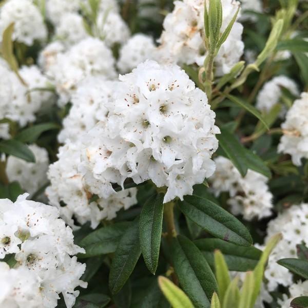 schoene weisse Blumen - rhodendron schneiden