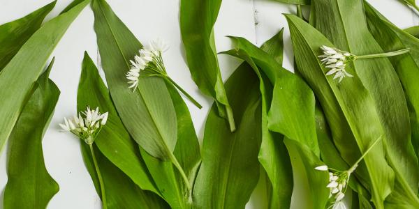 Bärlauch Wilder Knoblauch sattgrüne glänzende Blätter feine weiße Blüten