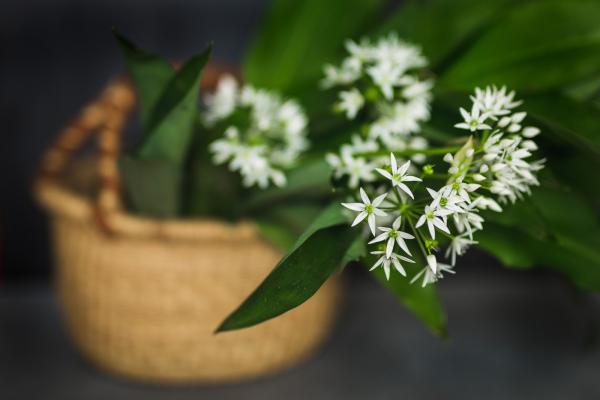 Bärlauch Wilder Knoblauch sattgrüne glänzende Blätter feine weiße Blüten am dünnen Stiel