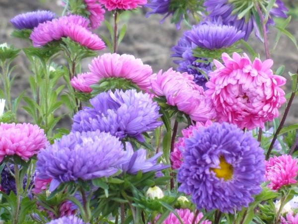 Blume Ihres Geburtsmonats Astern im Garten schön geformte farbenfrohe Blüten typisch für September