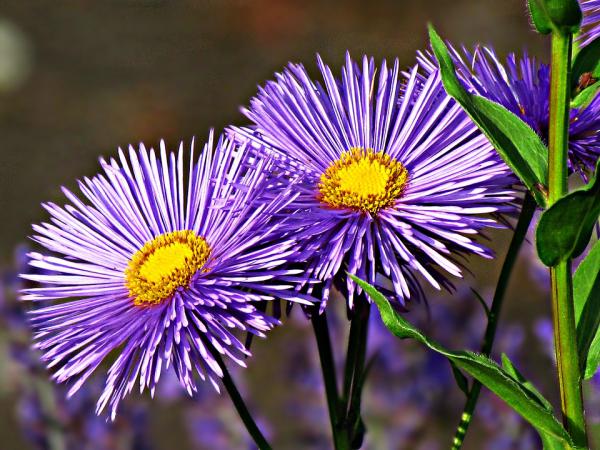 Blume Ihres Geburtsmonats Astern im zarten Blau feine Blüten auffällig