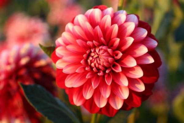 Blume Ihres Geburtsmonats Chrysantheme schöne Herbstblume steht für Optimismus und Aufrichtigkeit