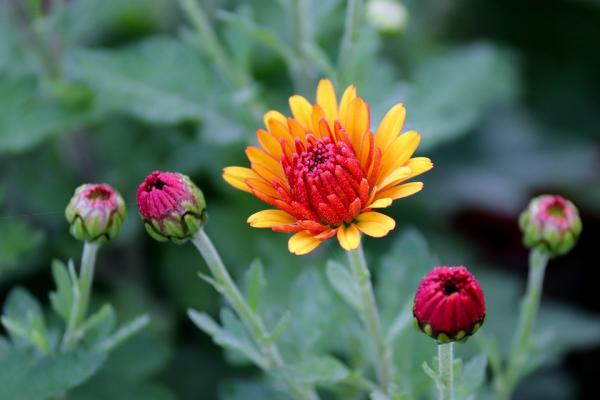 Blume Ihres Geburtsmonats Chrysanthemen im Garten kurz vor Blütezeit natürlicher Schmuck draußen