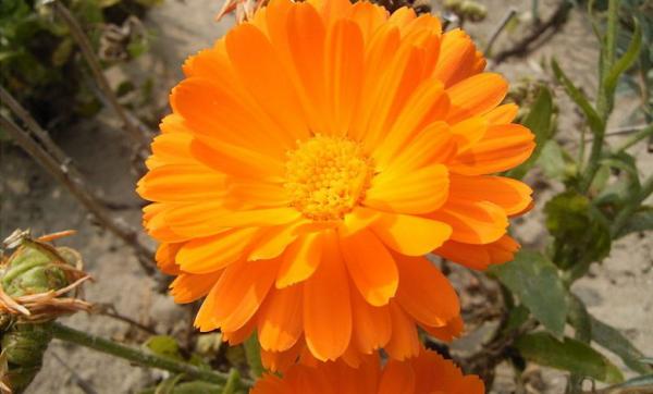 Blume Ihres Geburtsmonats Ringelblumen orangenfarbene Blüten Symbol für warme Liebe romantische Gedanken