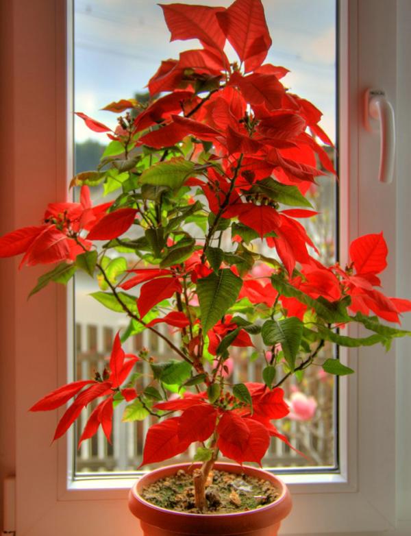 Blume Ihres Geburtsmonats Weihnachtsstern Symbol für die