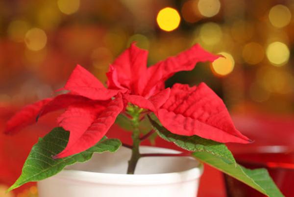 Blume Ihres Geburtsmonats Weihnachtsstern knallrote Hochblätter für Dezember-Kinder