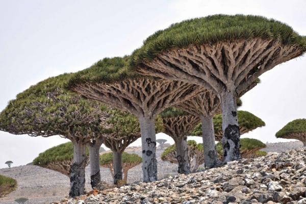 Drachenblut Drachenbaum Südamerika heilende Wirkung