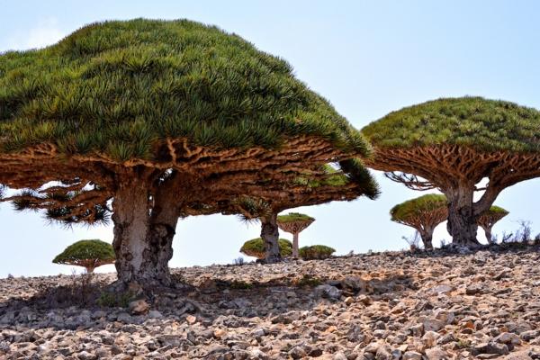 Drachenblut Drachenbaum heilende Wirkung