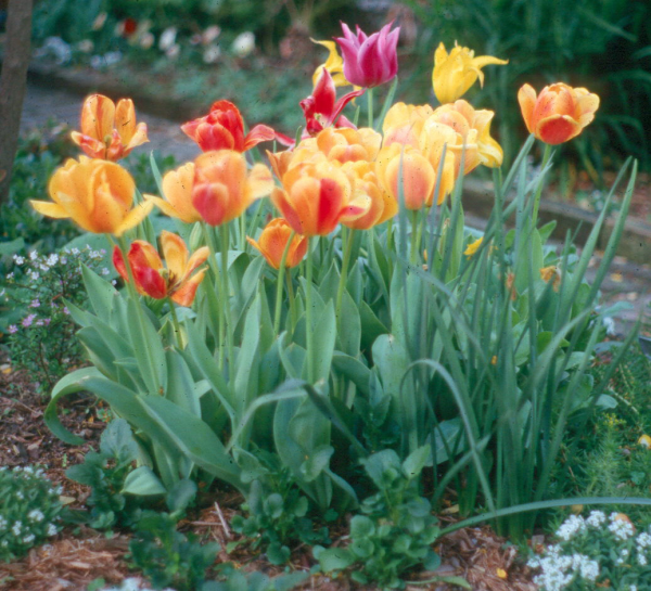 Garten pflegen Tulpen pflanzen