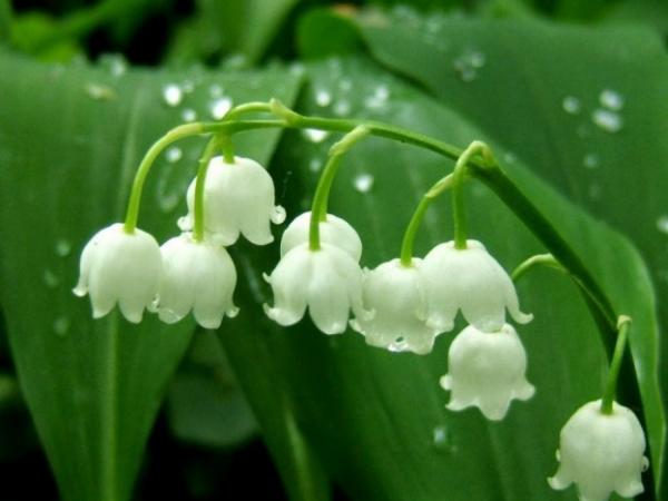 Geburtsmonat passende Blume Maiglöckchen symbolisiert keusche Liebe für Mai-Geborene