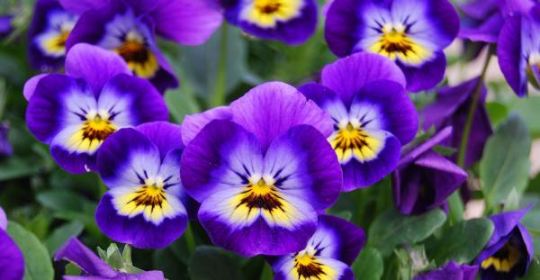 Geburtsmonat passende Blume Stiefmütterchen Symbol des Monats Februar