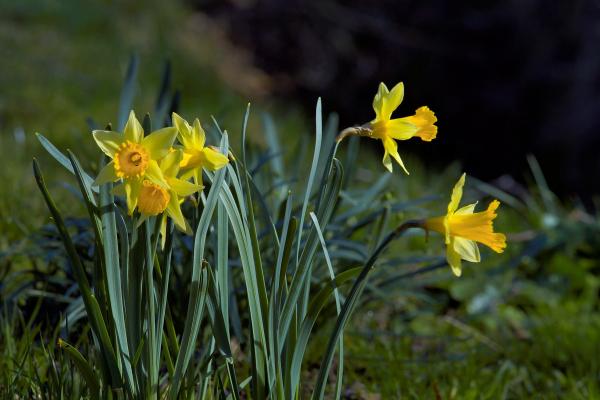Geburtsmonat passende Blume gelbe Narzissen im Garten symbolisieren die Liebe zu sich selbst