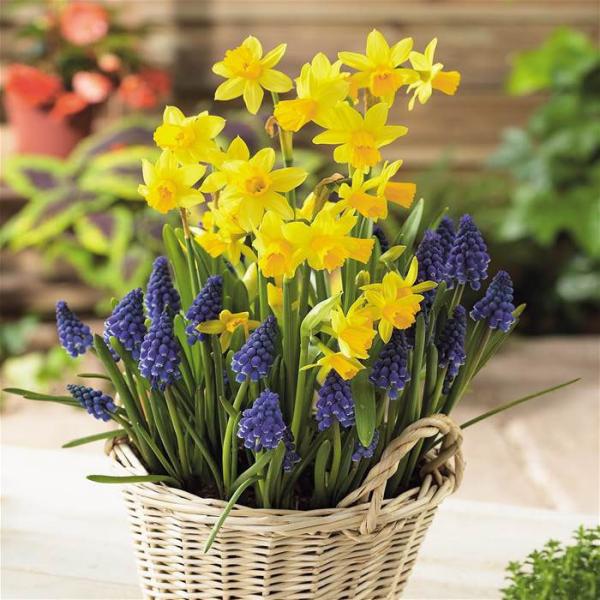 Geburtsmonat passende Blume gelbe Narzissen schön im Korb arrangiert