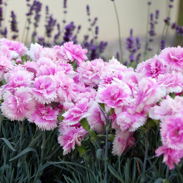 Geburtsmonat passende Blume rosafarbene Nelken im Garten für Januar-Geborene