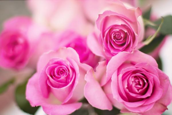 Geburtsmonat passende Blume rosafarbene Rosen Symbol für weibliche Jugend und Anmut