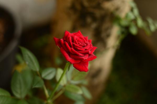 Geburtsmonat passende Blume rote Rose im Garten ewiges Symbol der Liebe