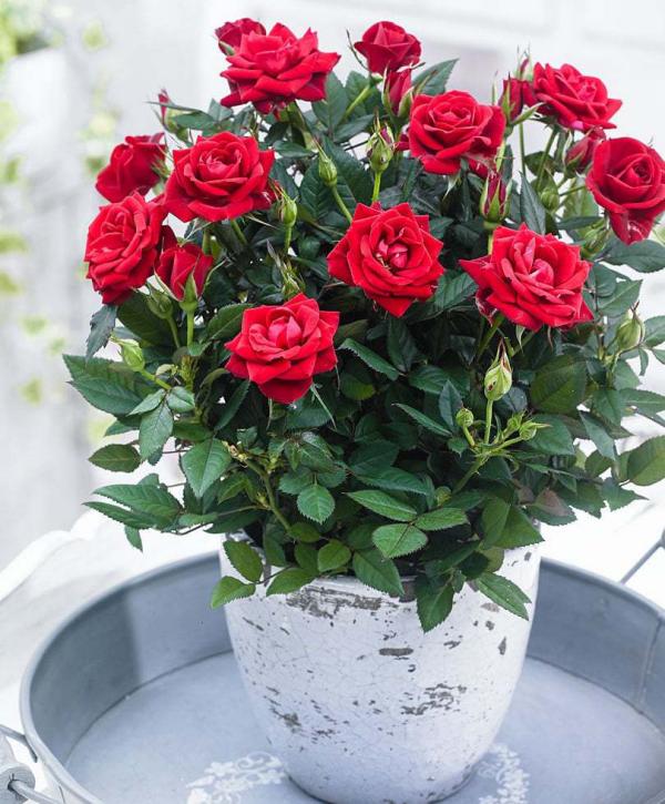 Geburtsmonat passende Blume rote Rosen im Garten natürliche Schönheit für Juni-Geborene