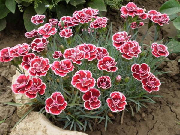 Geburtsmonat passende Blume schöne rosafarbene Nelken im Garten Farbenpacht