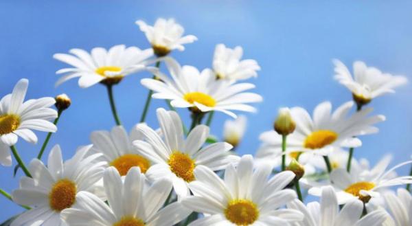 Geburtsmonat passende Blume weiße Gänseblümchen für alle April-Geborenen