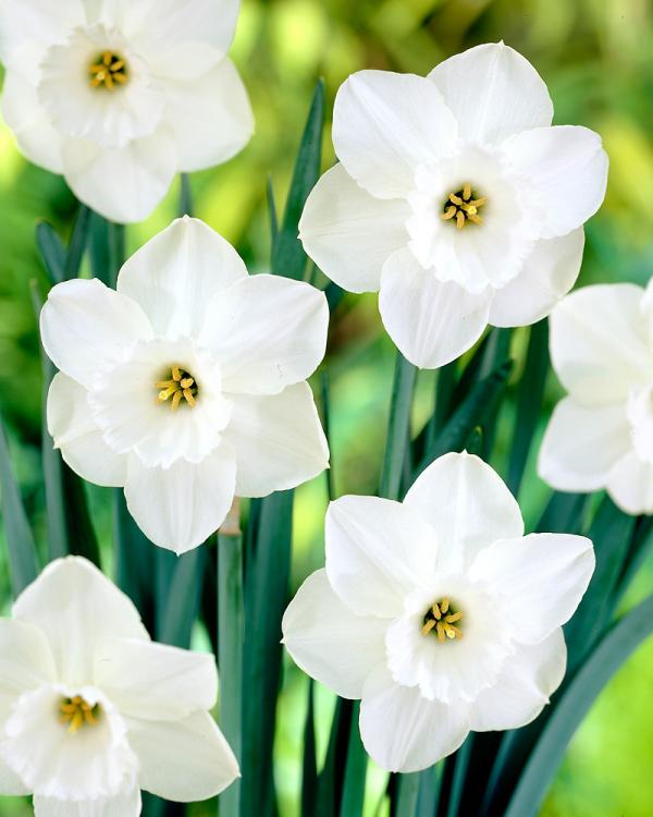 Geburtsmonat passende Blume weiße Narzissen im Garten für die März-Geborenen