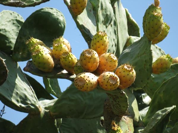 Kaktusfeige essen Kaktusfrucht Feigenkaktus Opuntie im Garten