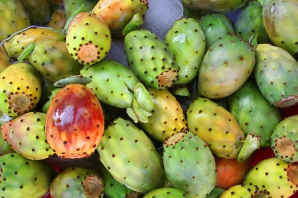 Kaktusfeige essen Kaktusfrucht noch unreif Feigenkaktus Opuntie