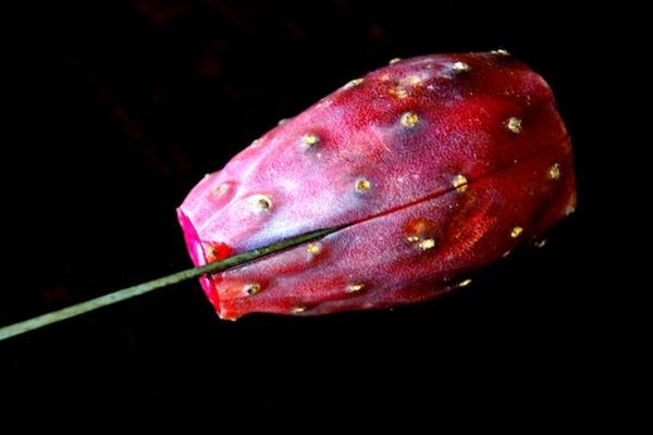 Kaktusfeige essen Kaktusfrucht schneiden Feigenkaktus Opuntie